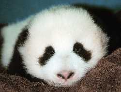Зоопарк Сан-Диего – новорожденная панда!